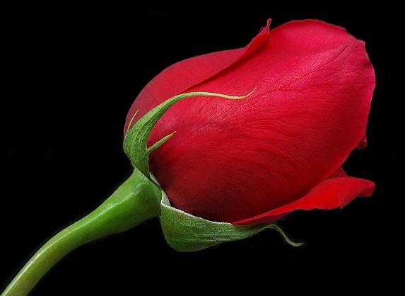 red_rose6