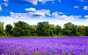 4336-lavender-field-2560x1600-nature-wallpaper