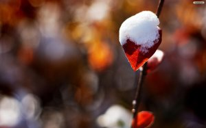 snow_on_a_red_leaf_wallpaper_b0069
