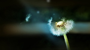 Scattered fly Dandelion Wallpapers HD 1280x720