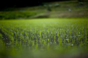 rain_in_rice_field2_by_jasdt-d350put